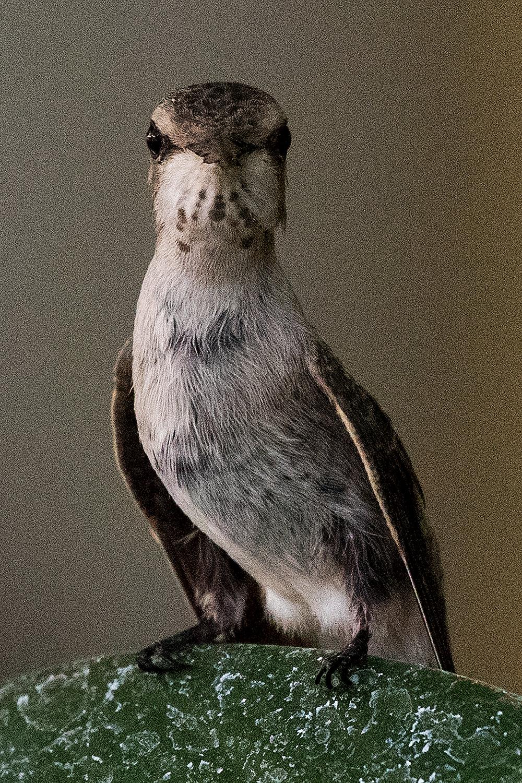 Hummingbird #8