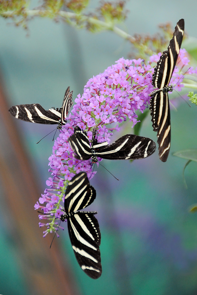 Striped Butterflies