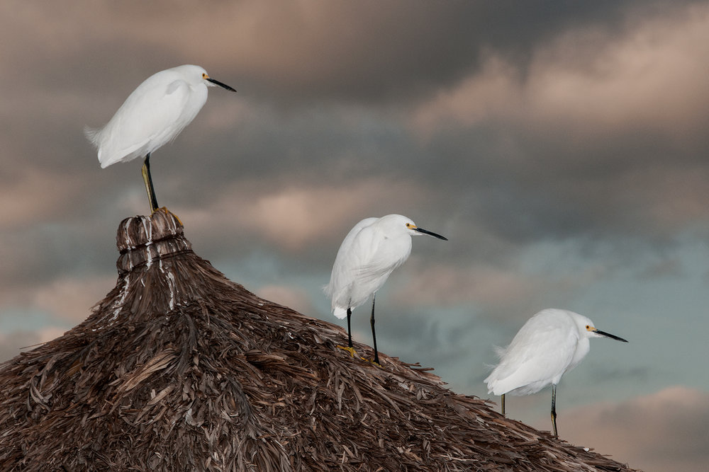 Egrets on Palapa