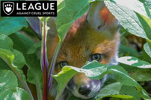 League Against Cruel Sports - Online & residential programme creationTwo streams of activity form our work with LACS.  Firstly, we visited the unique and special protected animal sanctuaries in Devon to conduct learning feasibility studies.  We also used the charity's fox cub mascot and his friends as the basis for curriculum content for EYFS to Key Stage 4 . We are working with the LACS to create a physical and online learning presence,  enabling learners to become geographers, scientists and authors, ultimately leading to them being the next generation of conservationists.