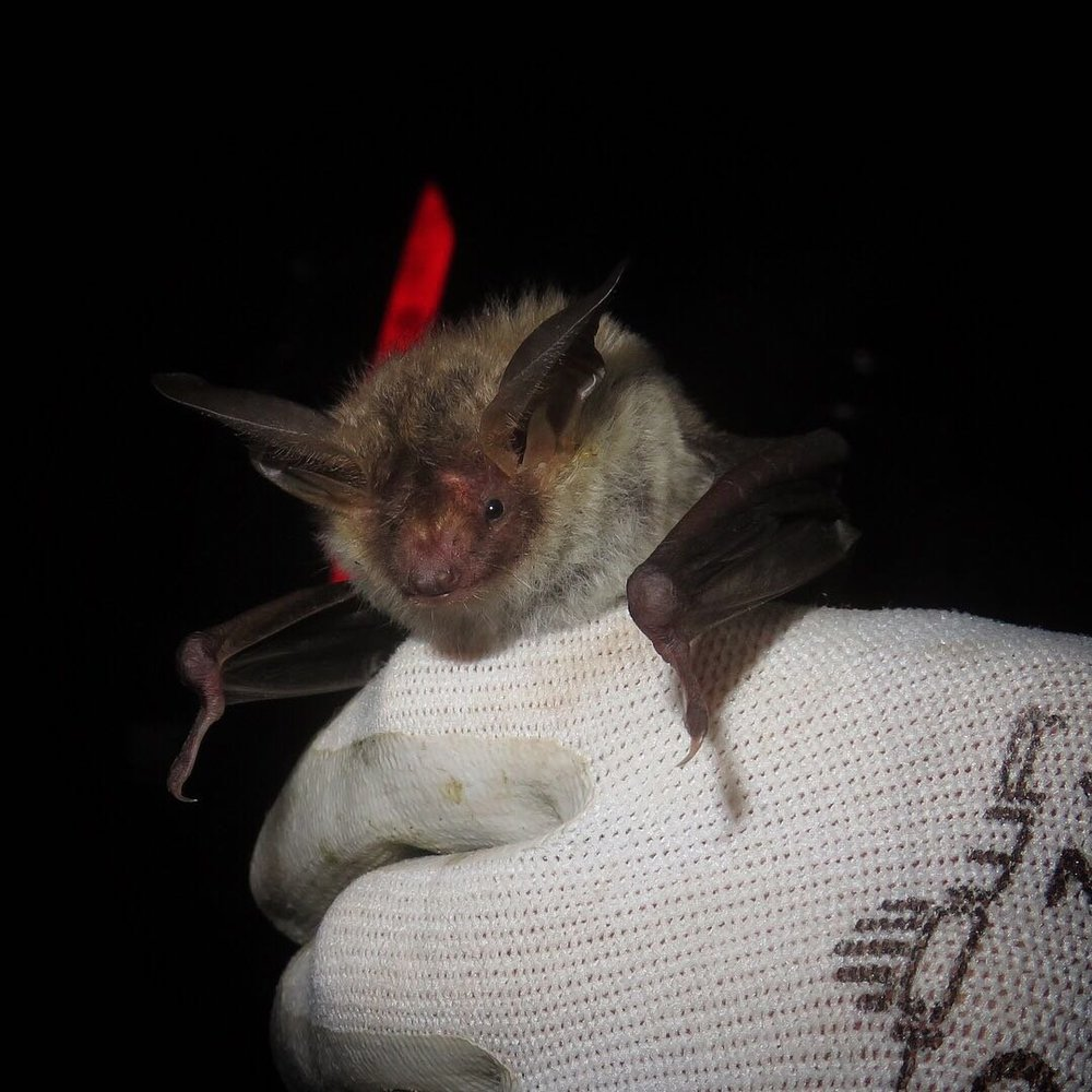 Bechstein's Bat at Knepp - photo by Ryan Greaves