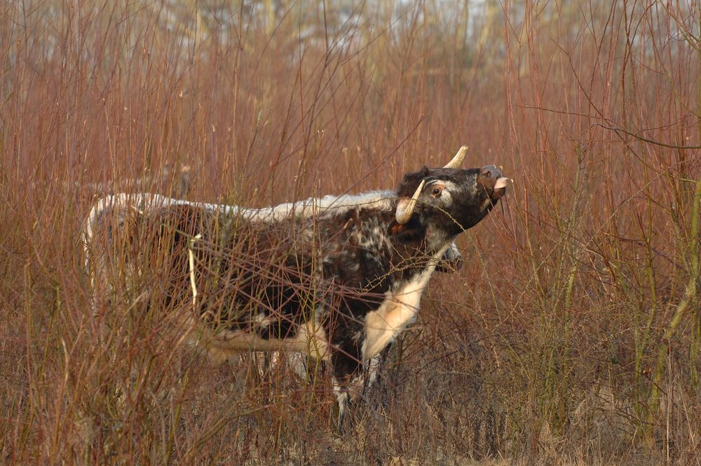 A longhorn cow feeding on Sallow