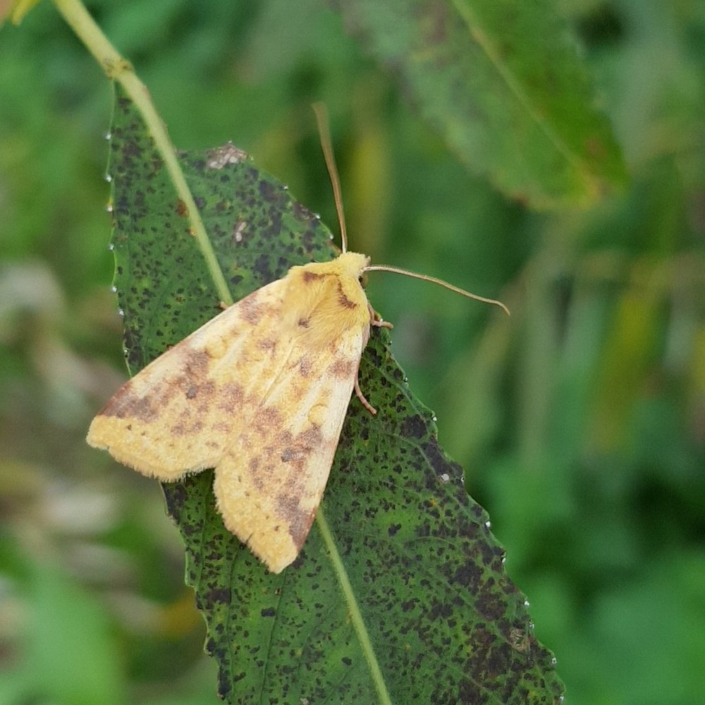 The Sallow moth looking pretty similar to the leaf of it's namesake tree in the autumn