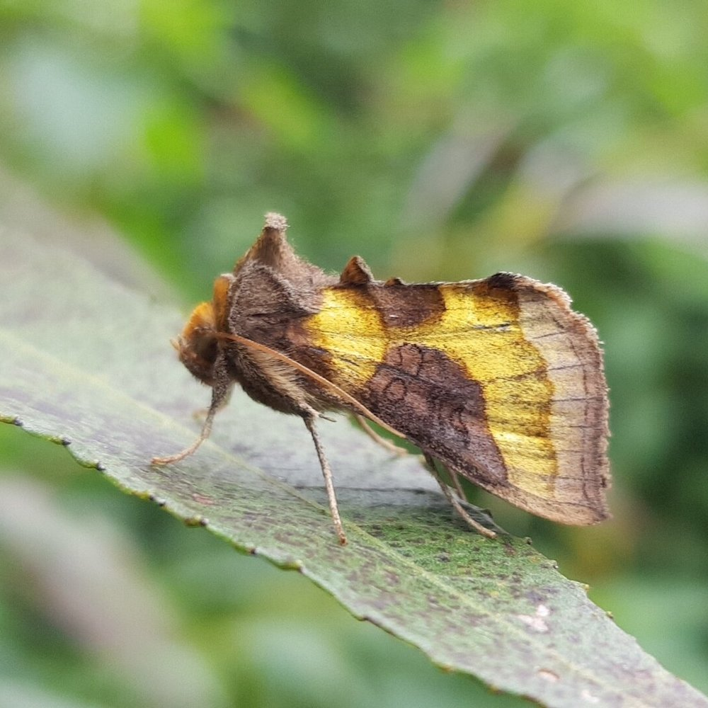 The exquisitally iridescent Burnished Brass