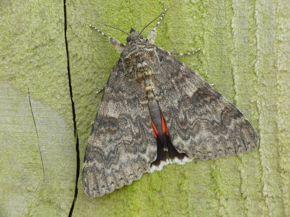 A Red Underwing showing a cheeky flash of red   by Penny Green, Knepp Ecologist