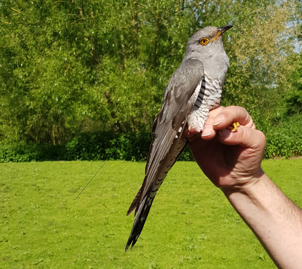 Raymond the Cuckoo with satellite-tag fitted