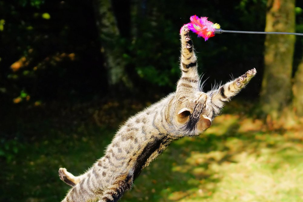 cat jumping in air playing with feather toy