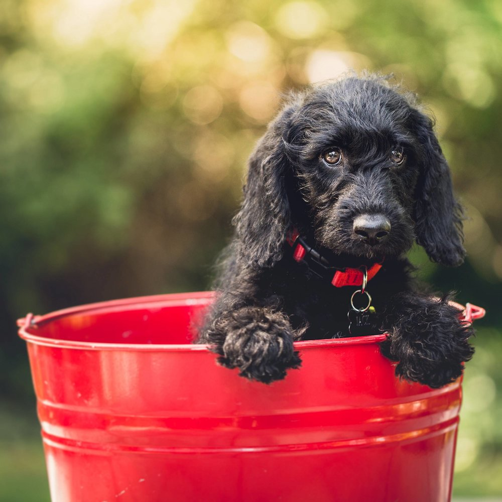 cute puppy sitting in a bright red bucket