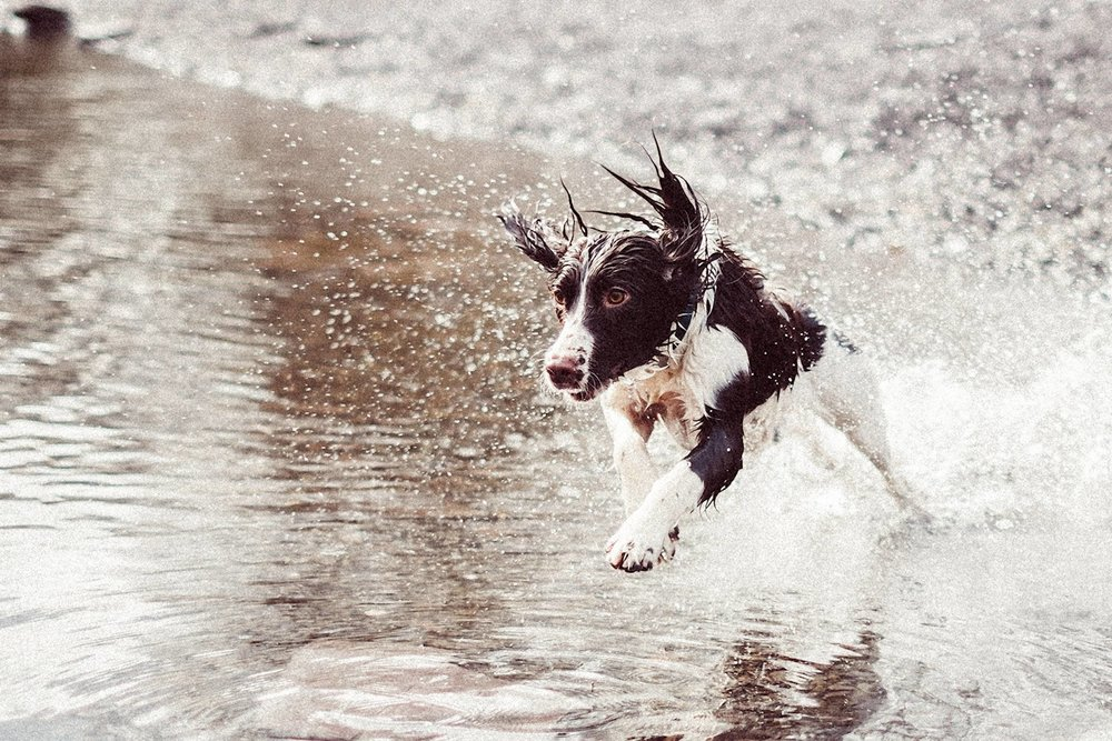 Springer Spaniel running through water