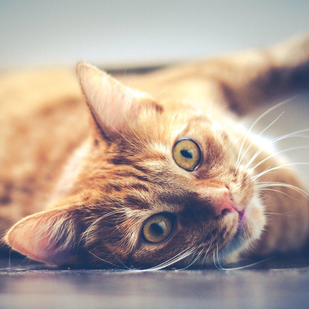 sick ginger cat lying down