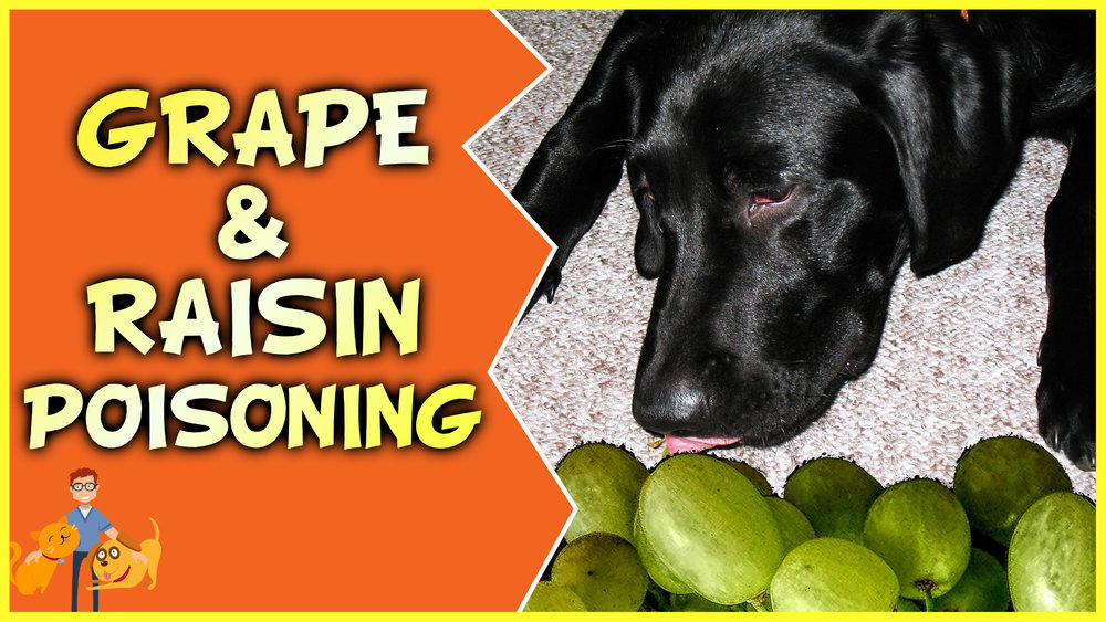 grape and raisin poisoning in dogs and cats