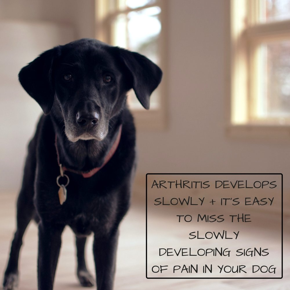 ARTHRITIS DEVELOPS SLOWLY + IT'S EASY TO MISS THE SLOWLY DEVELOPING SIGNS OF PAIN IN YOUR DOG