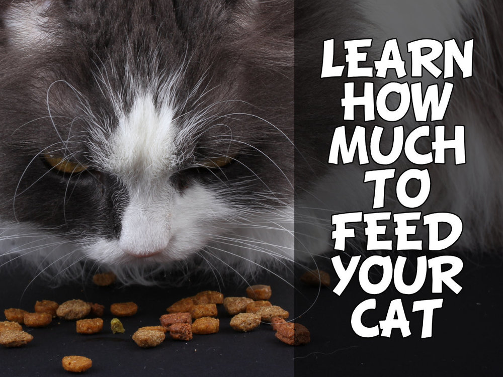 learn how much to feed your cat