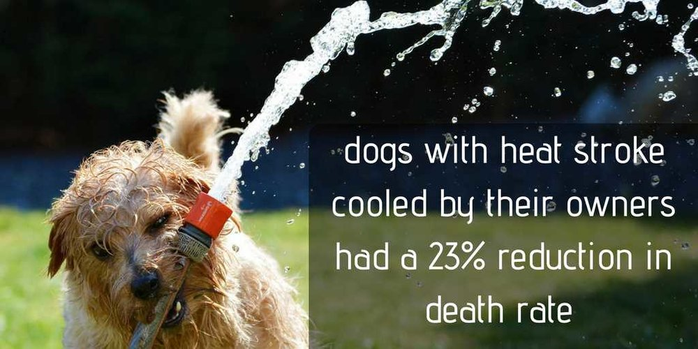 dogs with heat stroke who were cooled down quickly by their owners had a 38% chance of dying compared to a 61% chance if dying in those dogs who were not cooled