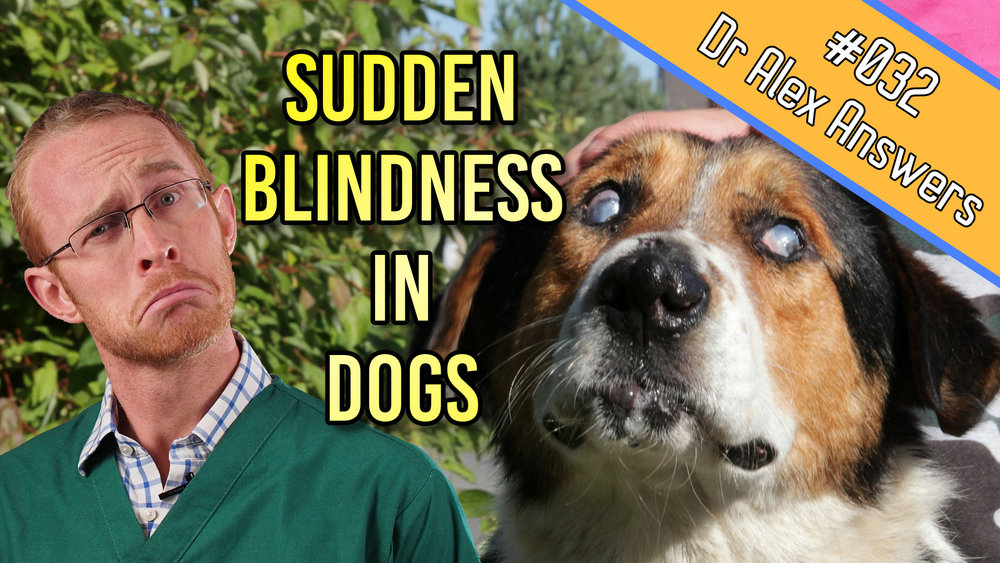 sudden blindness in dogs with picture of dog with cataracts