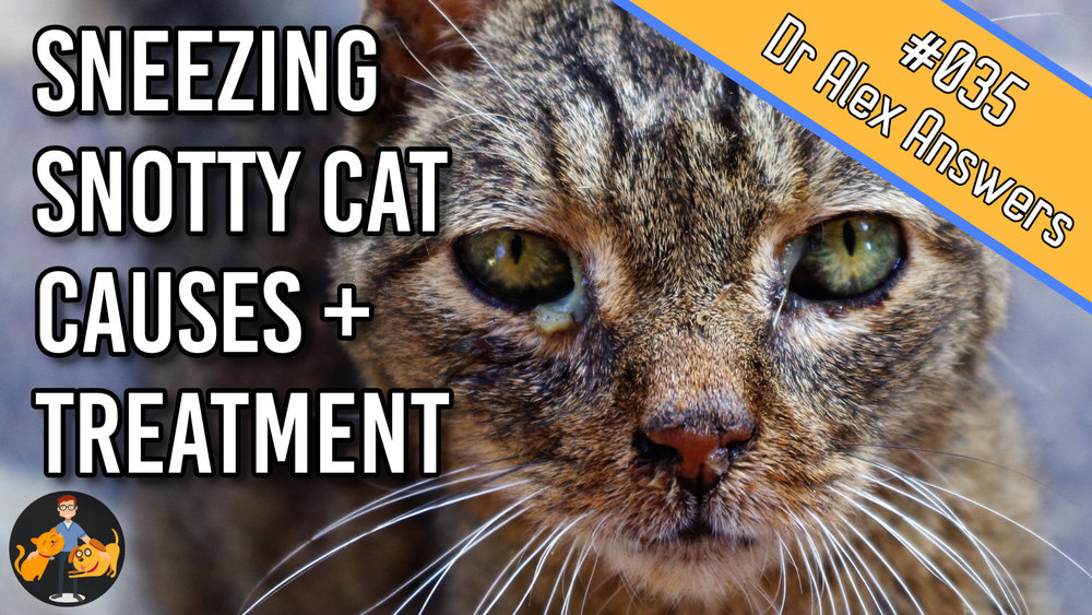 cat with eye and nose discharge and title sneezing snotty cat causes and treatment