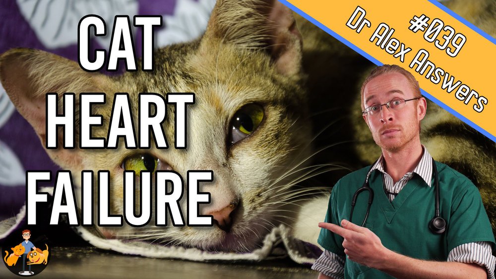 heart failure in cats