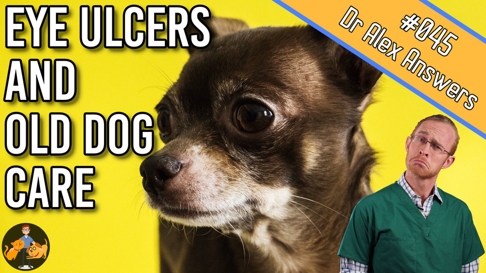 eye ulcers and old dog care