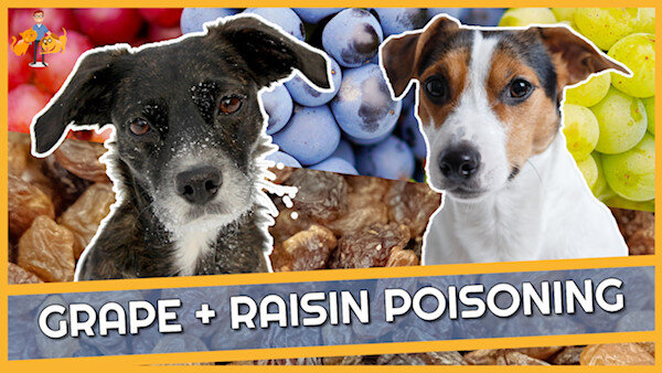 Raisin + Grape Poisoning in Dogs: How