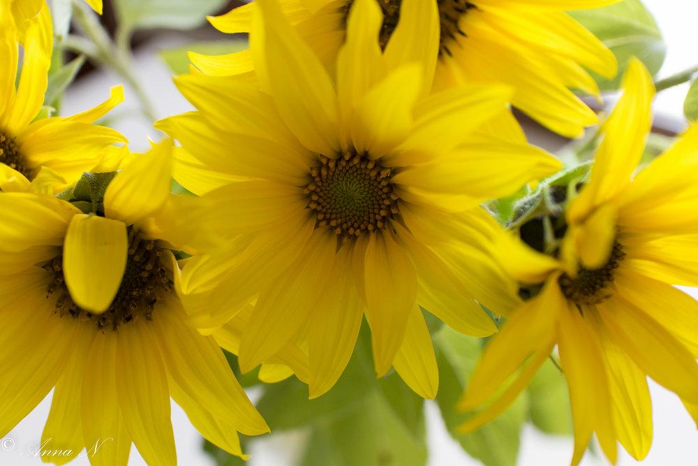 Auringonkukkia