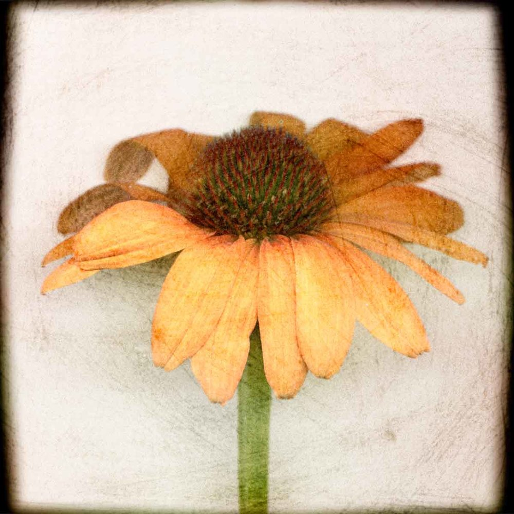 orange-coneflower.jpg