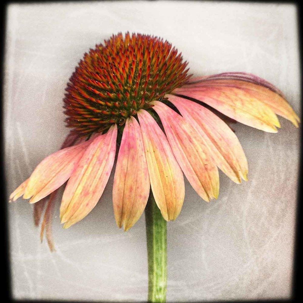 pink-coneflower.jpg