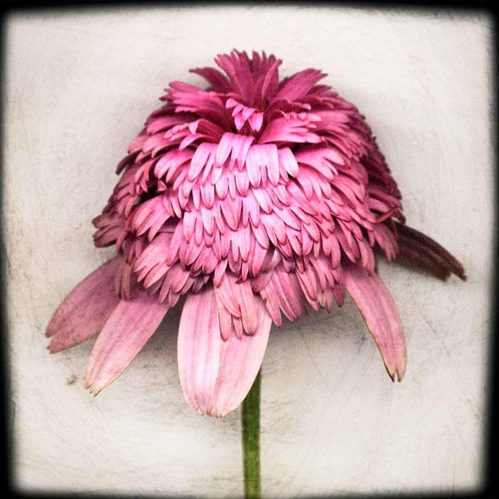 pink-delight.jpg