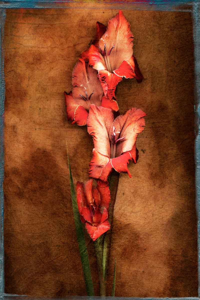 gladiola.jpg