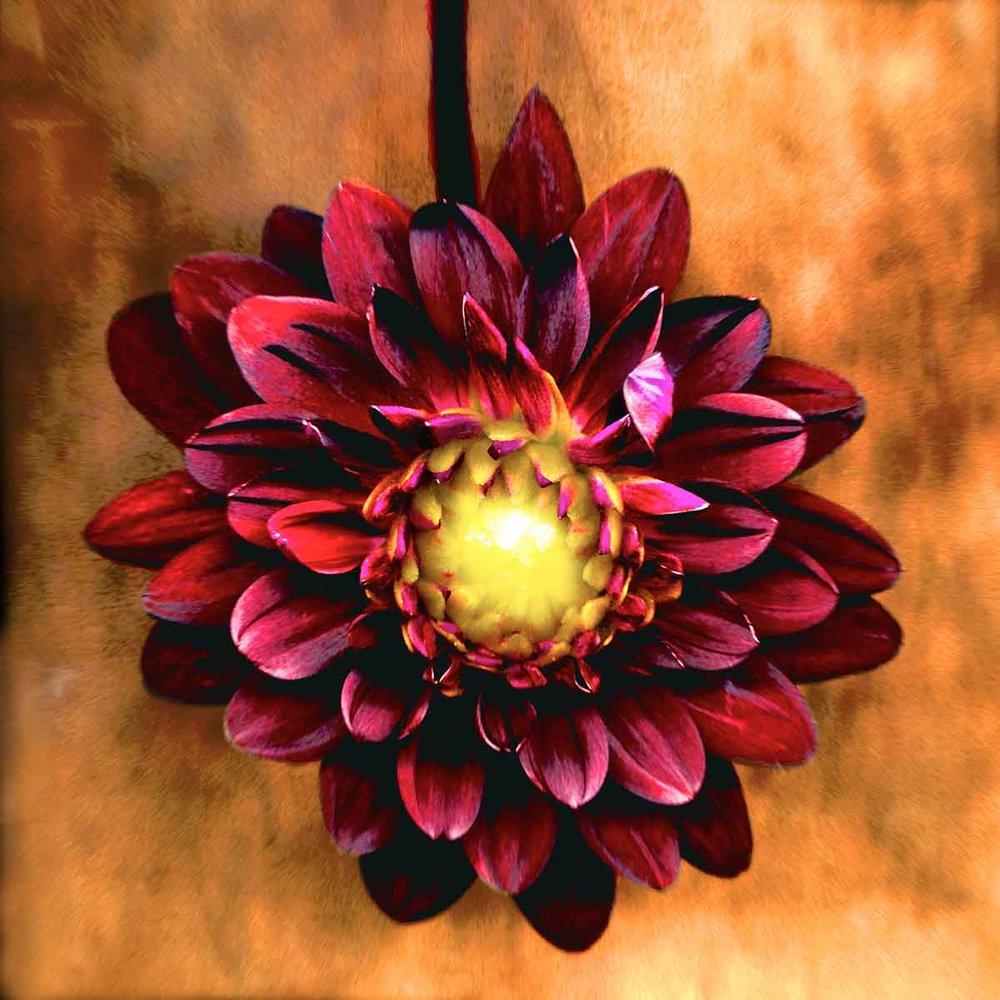 purple-dahlia.jpg