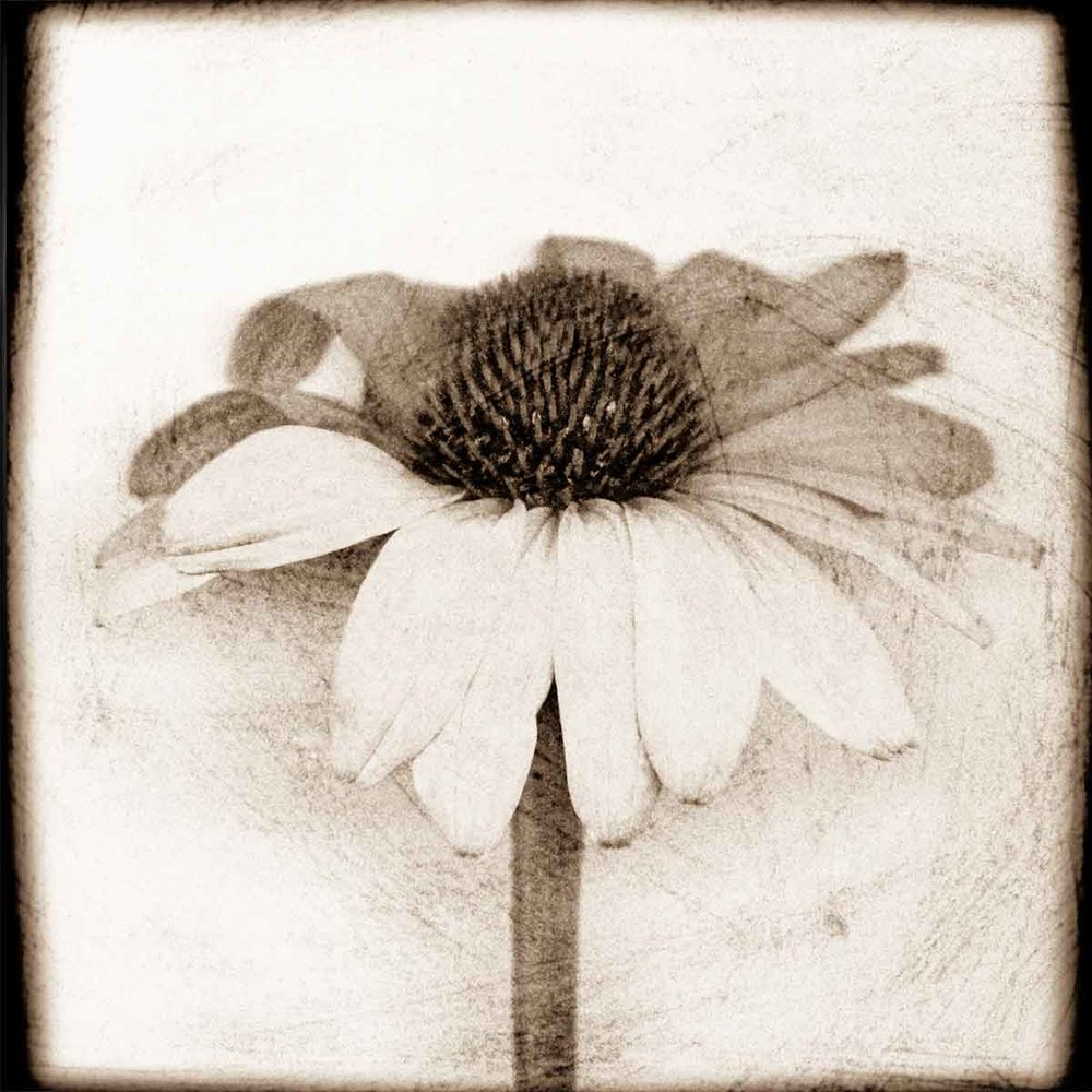 coneflower-stem.jpg