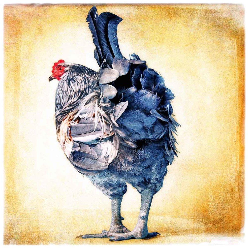 rooster-blue.jpg