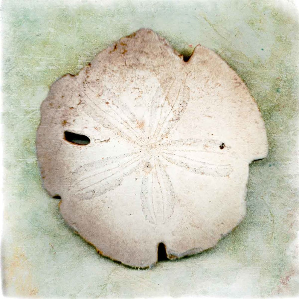 sanddollar-4.jpg