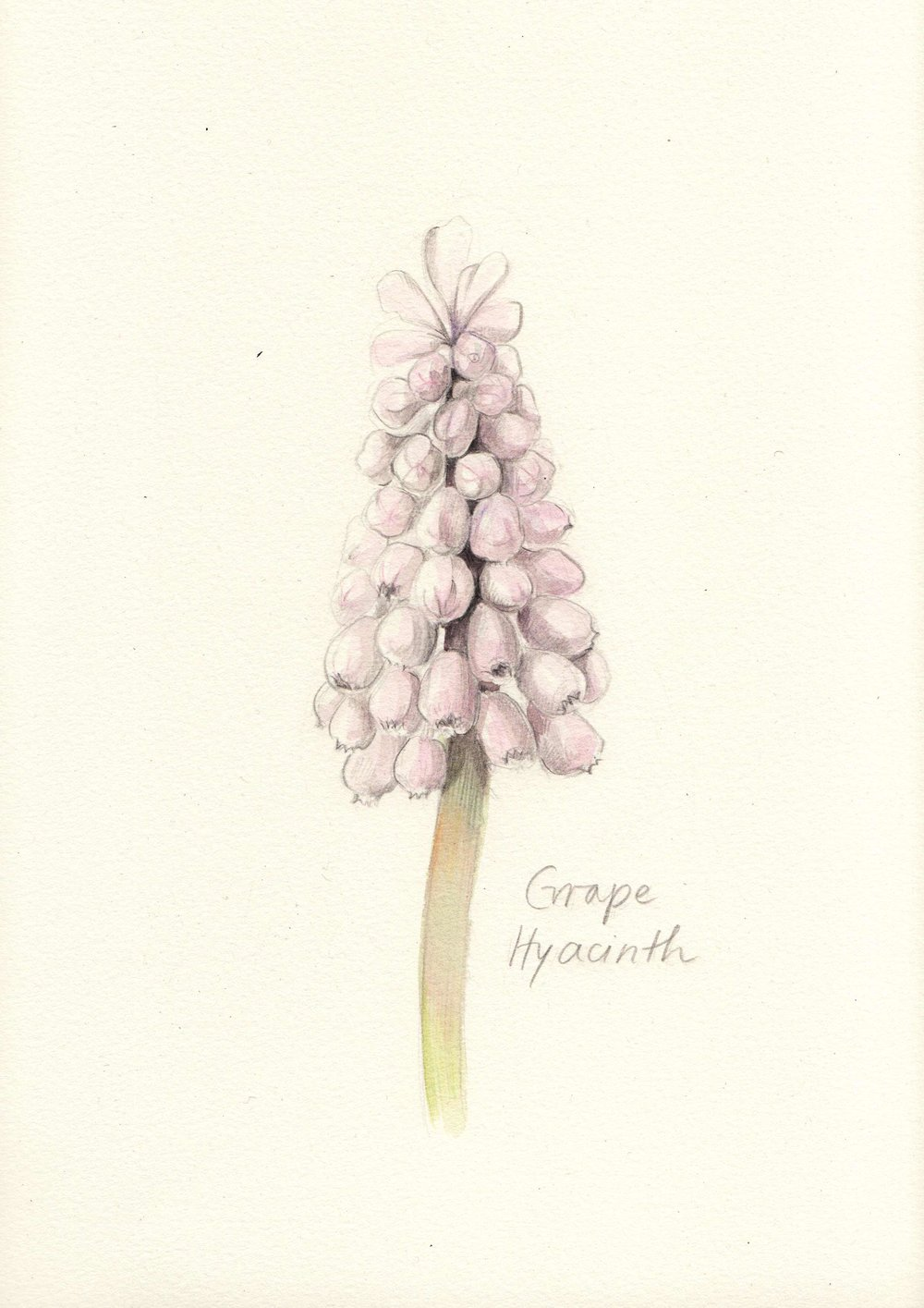 Sq_GrapeHyacinth.jpg