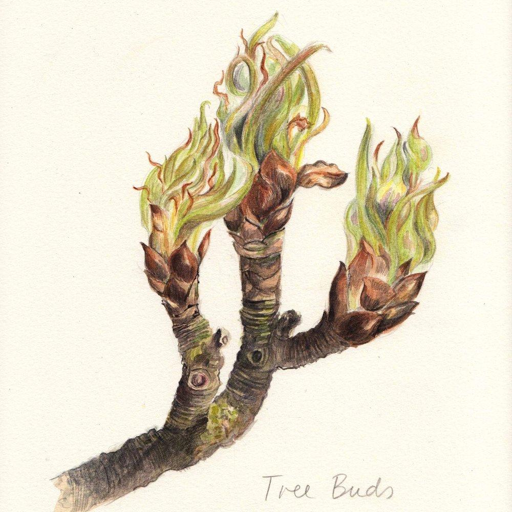 SQ_Treebud.jpg