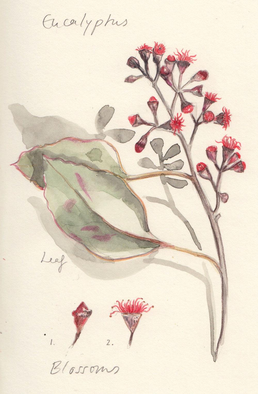 Sq_Eucalyptus.jpg