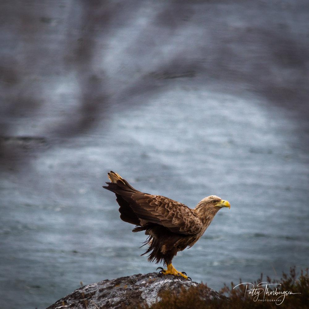 havørn © Patty Thorbergsen-8.jpg
