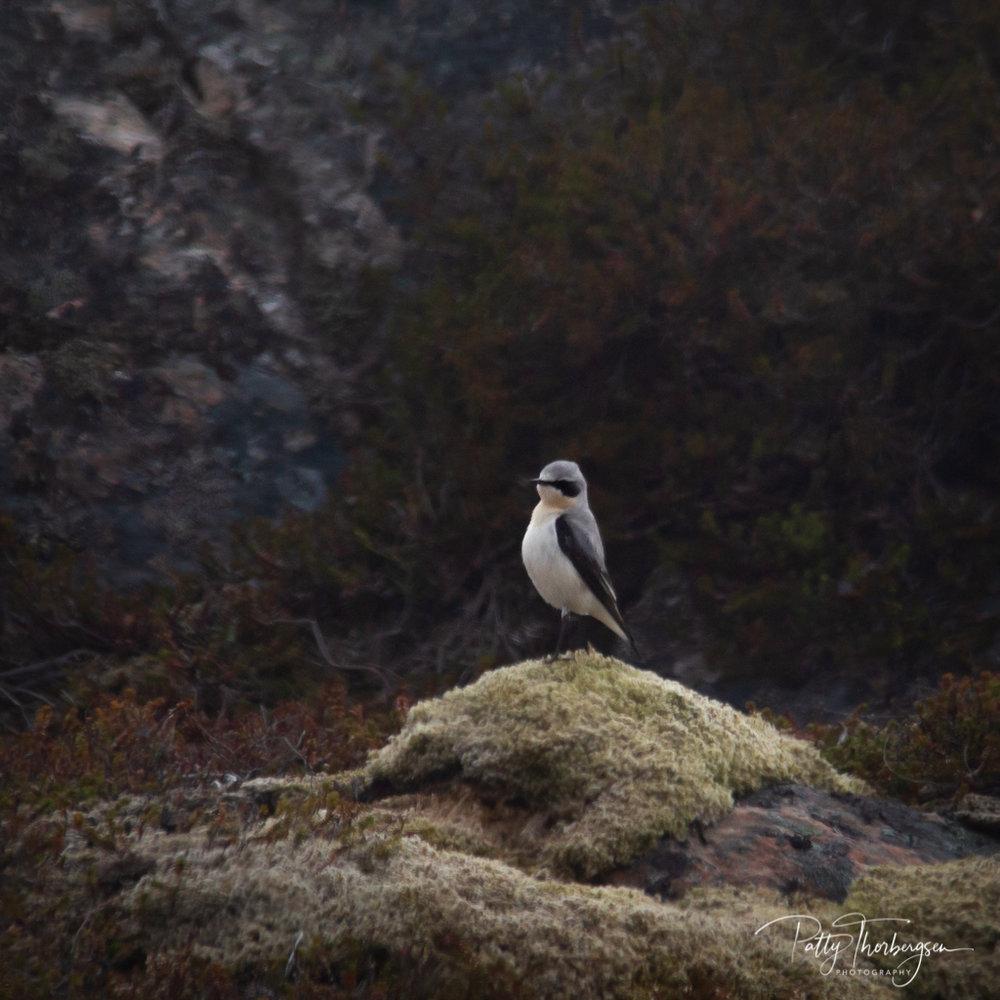 steinskvett © Patty Thorbergsen-1.jpg