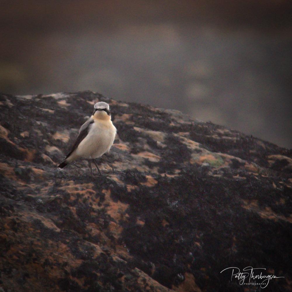 steinskvett © Patty Thorbergsen-2.jpg