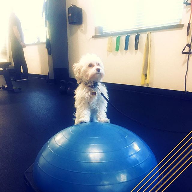 I hereby declare this bozu ball settled by #dogsofradius !  #pioneer #pupper #dogsofinstagram #sportsrehab #grassvalley #nevadacity