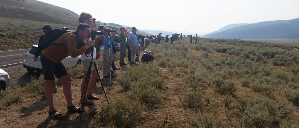 Yellowstone National Park visitors with their cameras in the Lamar Valley, watching a grizzly bear and some wolves, about a kilometer away.
