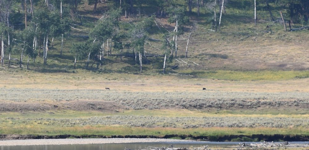 My photo of the wolf (left speck) and bear (right speck) isn't very good, but I still love it. Moments earlier, the wolf had been harassing the bear, and the bear took a swipe at it.
