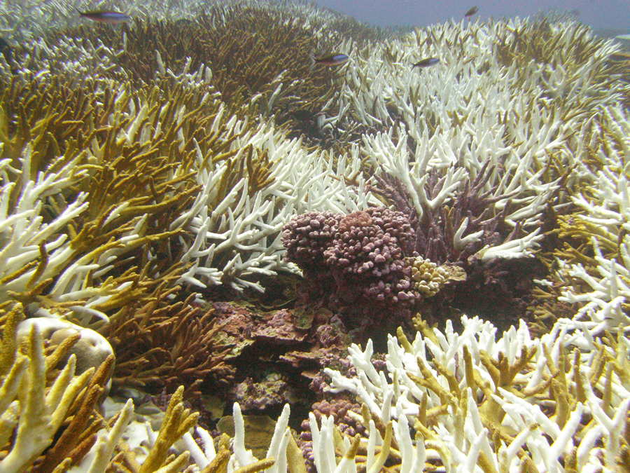 Bleached coral - the photosynthetic algae have died because of warmer and more acidic oceans