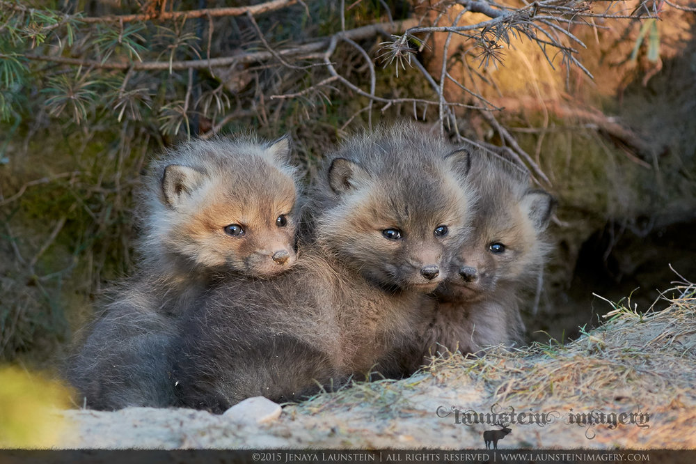 Fox Kit Trio