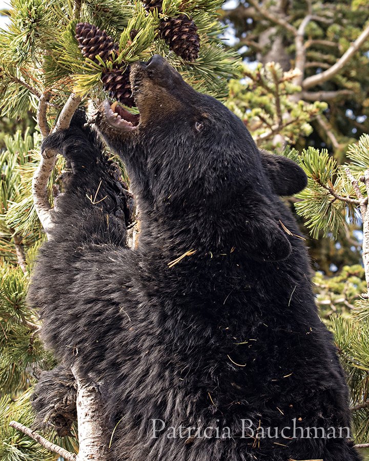 Black Bear in the whitebark pine tree.jpg