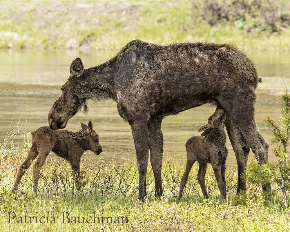 Moose Twins.jpg