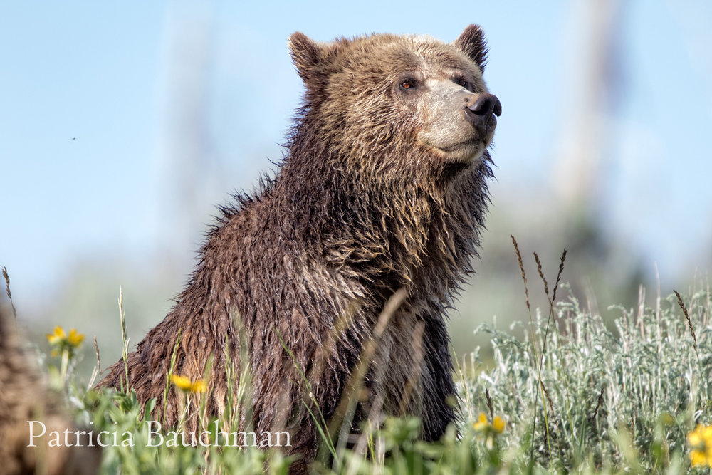 Three-year-old grizzly cub