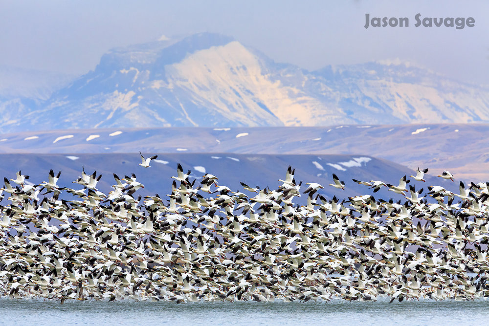 SnowGeese_A4A5321-Edit.jpg
