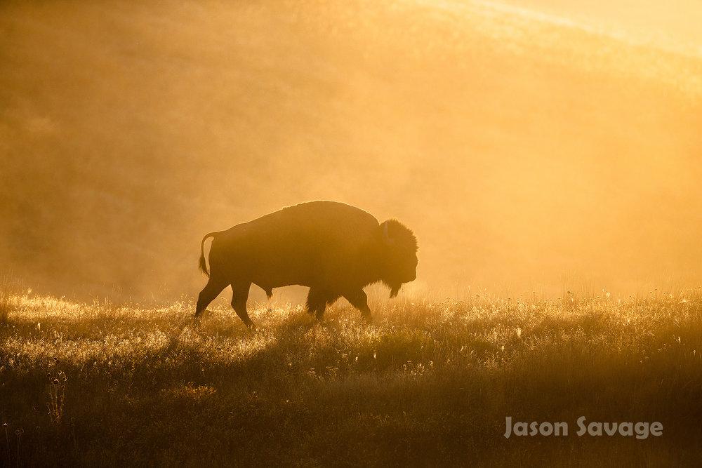 September Bison