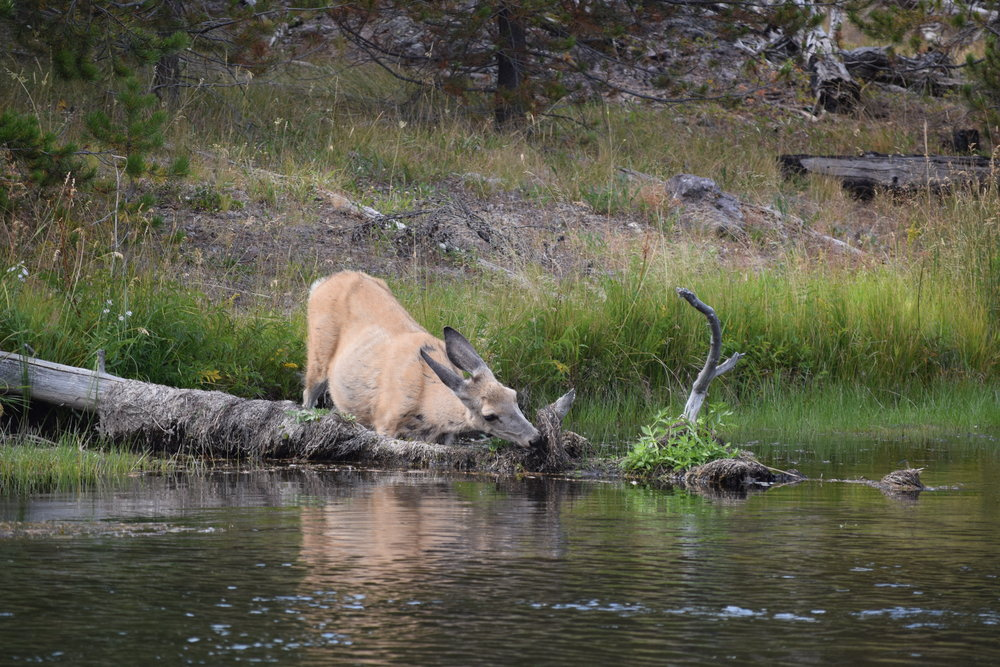 An elk cow munches on water plants near Canyon Village in Yellowstone.