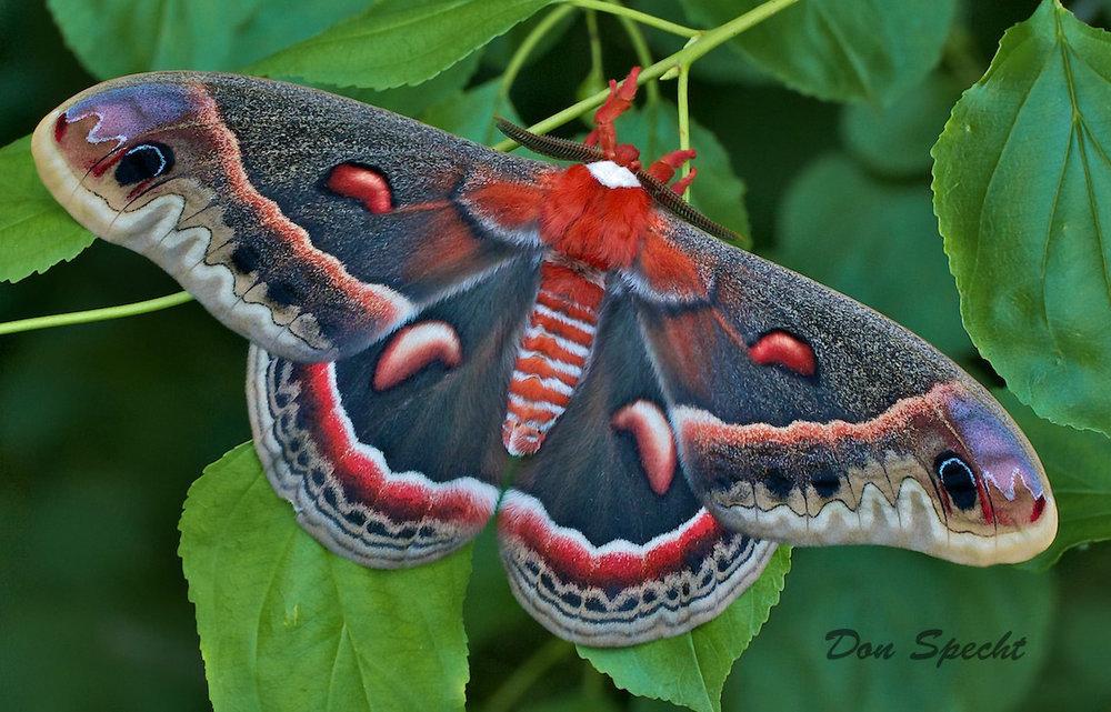 cecropia moth.jpg